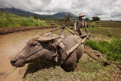 Farmer and Buffalo, Jatiluwih, Central Bali