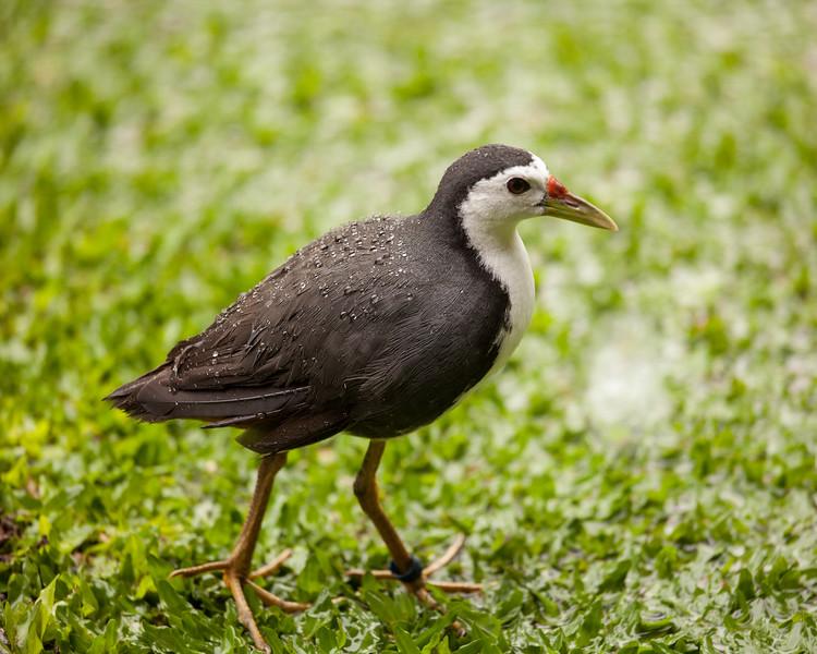 Waterbird, Keliki, Bali