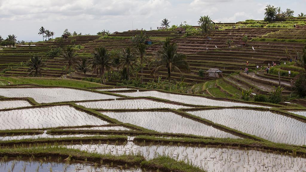 Rice Terrace, Jatiluwih, Central Bali