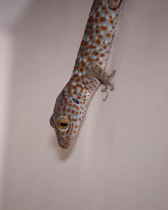 Tokay Gecko, Umajati Retreat, Petulu, Bali