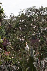 Heron Rookery, Petulu, Bali