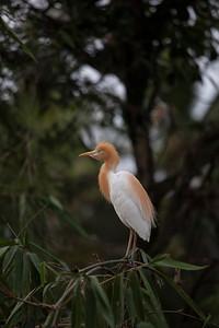 White Heron, Petulu, Bali