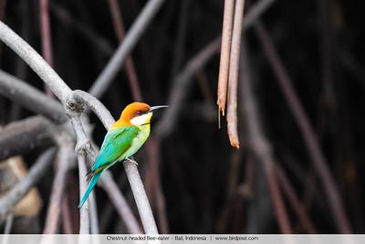 Chestnut-headed Bee-eater - Bali, Indonesia
