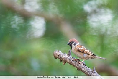 Eurasian Tree Sparrow - Bali, Indonesia