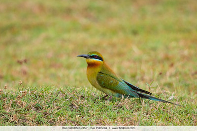 Blue-tailed Bee-eater - Bali, Indonesia