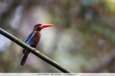 Javan Kingfisher - Bali, Indonesia
