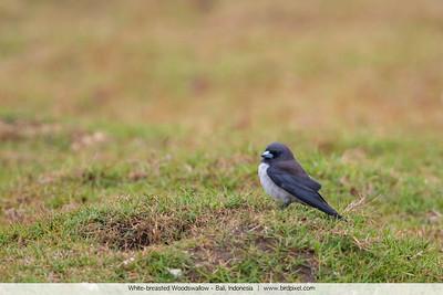 White-breasted Woodswallow - Bali, Indonesia