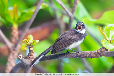 Malaysian Pied-Fantail - Bali, Indonesia