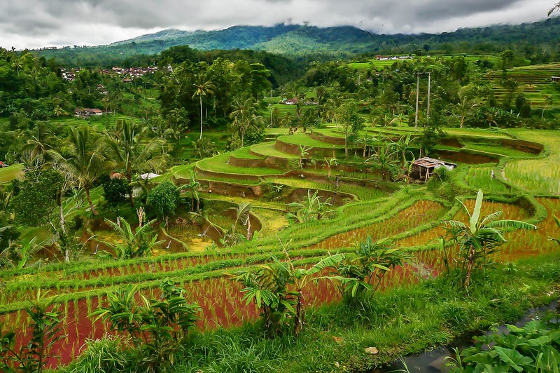 Balinese rice terraces.