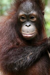 Man of the Forest, Young Orang-utan, Sabah