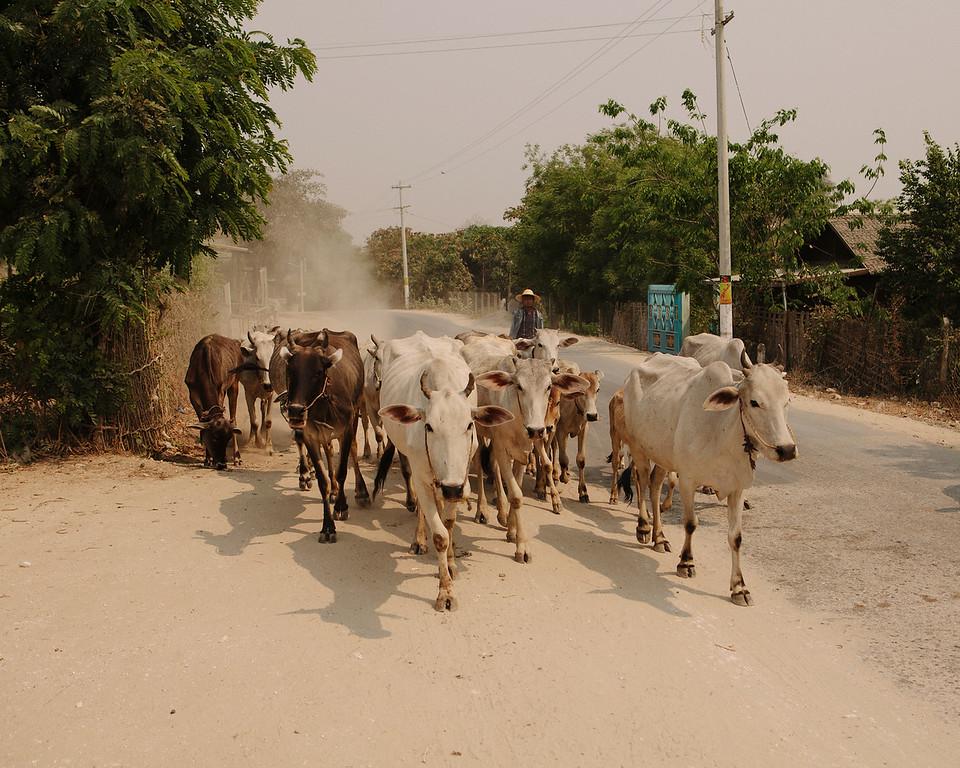 Cattle, Mingun