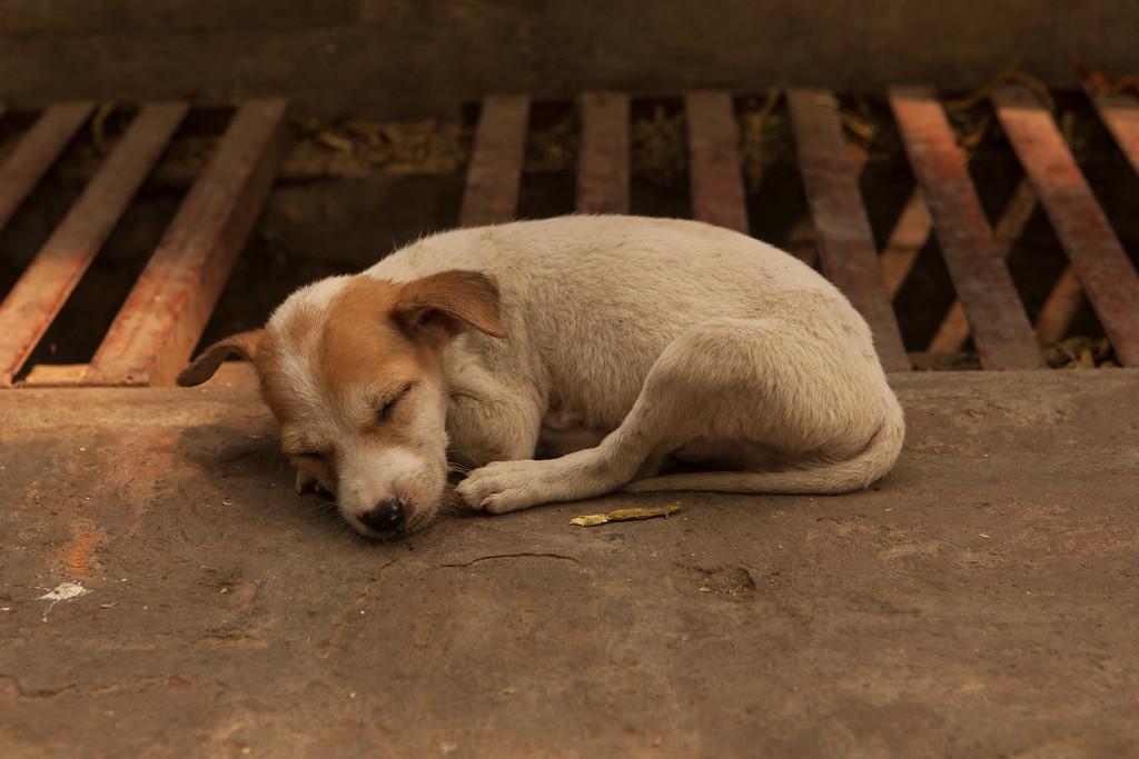 Sleeping Puppy, Mahagandayon Monastery, Amarapura