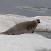 Female Ribbon Seal