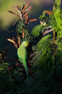 Parrot, Ella