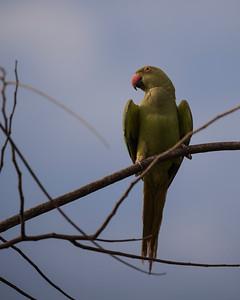 Alexandrine Parakeet, Yala National Park