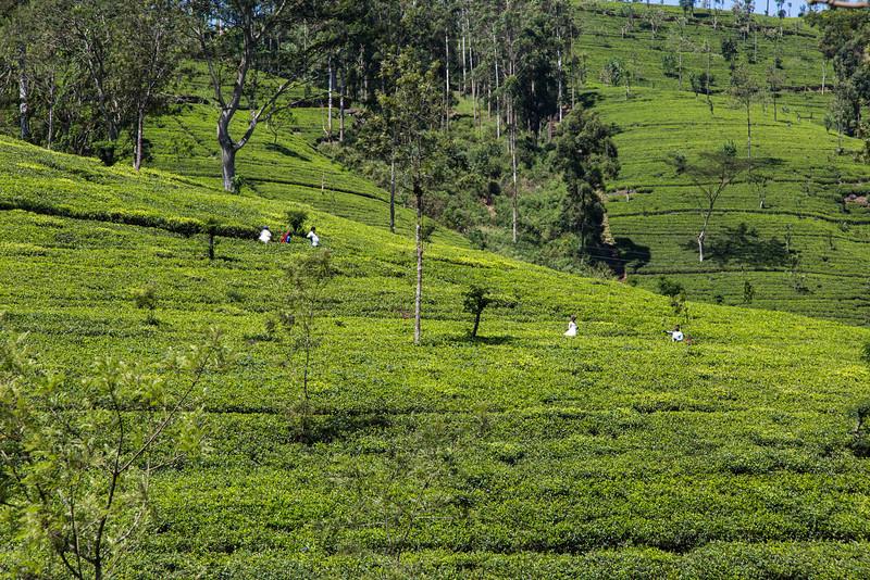 Highland tea plantation