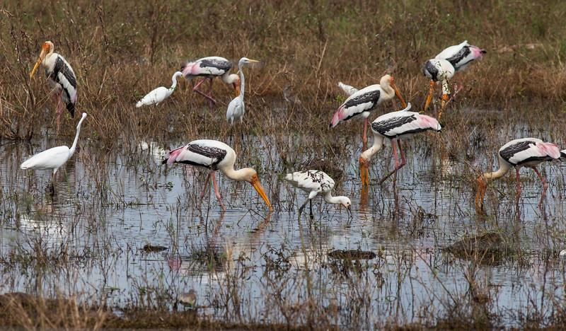 Painted Stork; Eurasian Spoonbill; Intermediate Egret