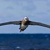 Wandering Tristan Albatross