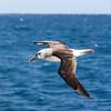 Atlantic Yellow-nosed Albatross<br /> at Tristan da Cunha