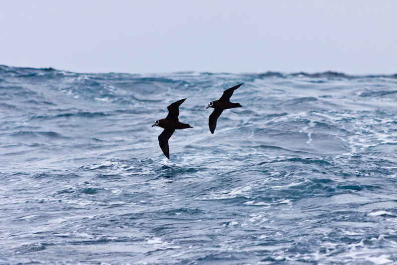 Spectacled Petrels