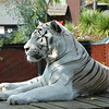 White tiger at Colchester Zoo, England