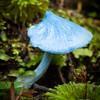 Entoloma hochstetteri, Blue pinkgill, Raikura National Park, Stewart Island, New Zealand