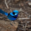 Splendid Fairy Wren.