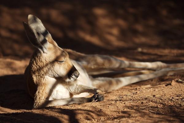 Kangaroo Nap.