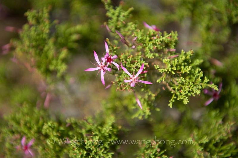 Cypress flowers at Nourlangie Barrk in Kakadu National Park.