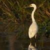 White Heron, Kakadu NP.