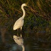 White Heron reflection.