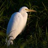 A White Heron basks in the warmth of the rising sun, Kakadu NP.