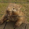 Wombat, Phillip Island