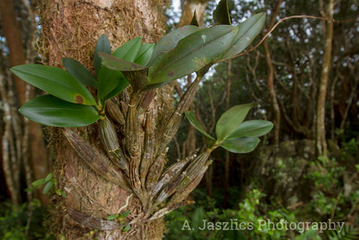 Epiphytic Orchid
