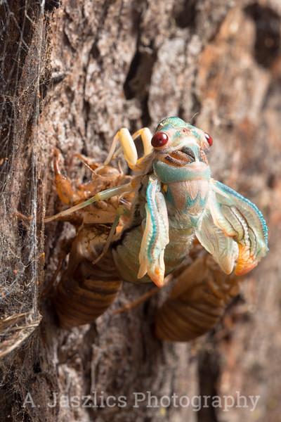 Red-Eye Cicada