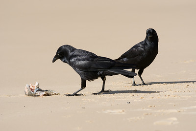 two ravens and a dead fish