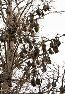 flying foxes in sydney