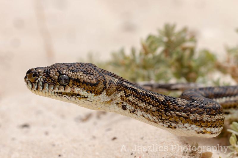 South-West Carpet Python