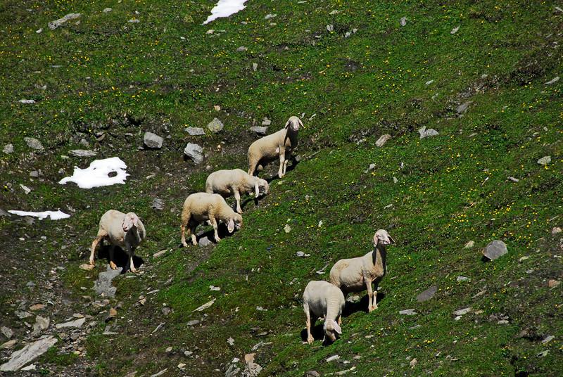 Sheep grazing on Grossglockner Pass, Austria