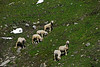 Sheep grazing on Grossglockner Pass, Austria