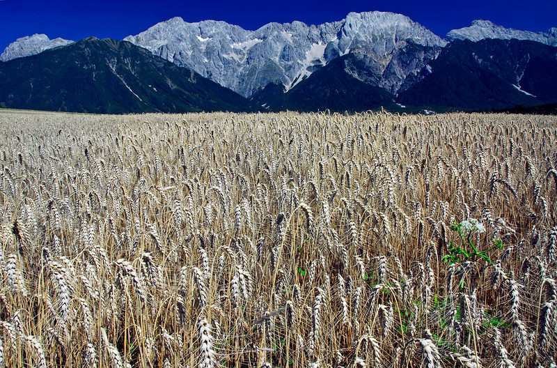 Wheat field - Mieming, Austria