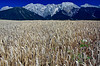 Wheat field - Mieming, Austria
