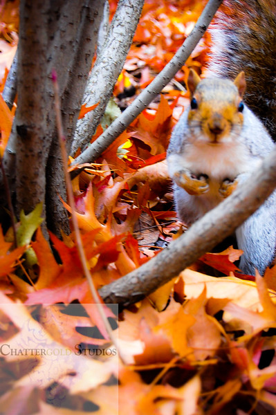 Thanksgiving, changing of the leaves, autumn, fall, central park, new york, new york city, manhattan, home decor, fall decor, fall photography, red leaves, squirrel .  This Image is © Tricia Chatterton Goldrick/Chattergold Studios.  All Rights Reserved.  No duplication without permission (see commercial downloads).  This image may be downloaded from this website for blogging purposes only.