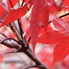 Red Leaves in Central Park .  This Image is © Tricia Chatterton Goldrick/Chattergold Studios.  All Rights Reserved.  No duplication without permission (see commercial downloads).  This image may be downloaded from this website for blogging purposes only.
