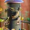 """""""Extra Finches on the Side, Please"""": Who ordered the extra goldfinches?"""