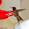 Hummingbird: These three hummingbirds take turns at the feeder, but don't like sharing.