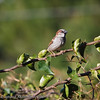 House Sparrow: As I went to get the morning paper, I was greeted by some feathered friends.
