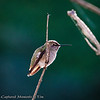Costa's Hummingbird: As I went to get the morning paper, I was greeted by some feathered friends.