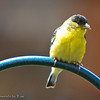 Perching Goldfinch: A Lesser Goldfinch (Carduelis psaltria) perches atop a bit of wrought iron.