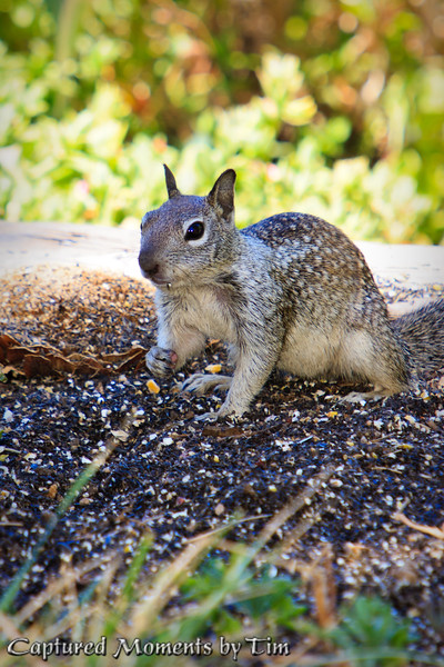 Squirrels: I recently discovered some new house guests in the yard ... Squirrels!  There appears to be 3 of them, and they are cute.